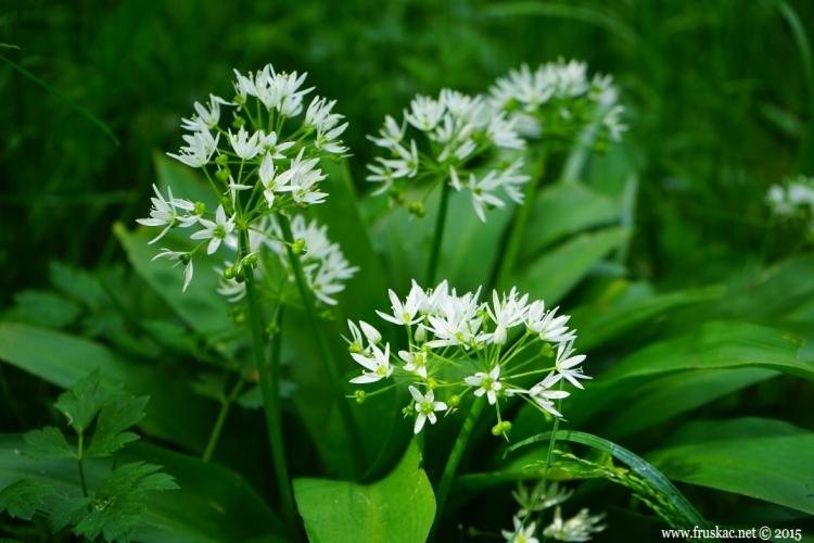 Plants - Sremuš – Allium ursinum