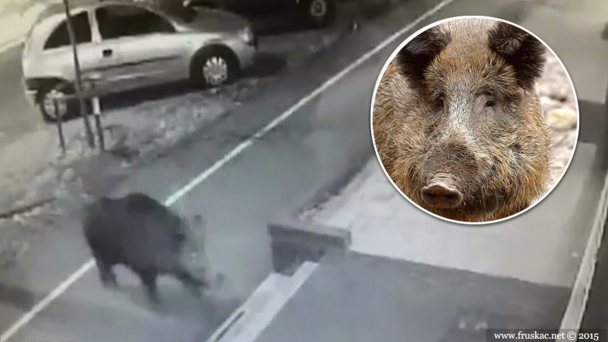 Gossip - Tri divlje svinje beže iz Novog Sada!