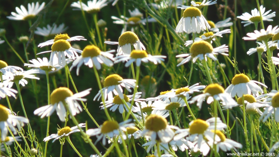 Plants -  Kamilica – Matricaria chamomilla