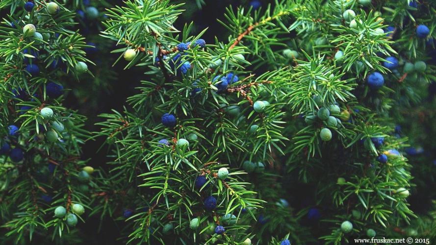 Plants - Kleka – Juniperus communis
