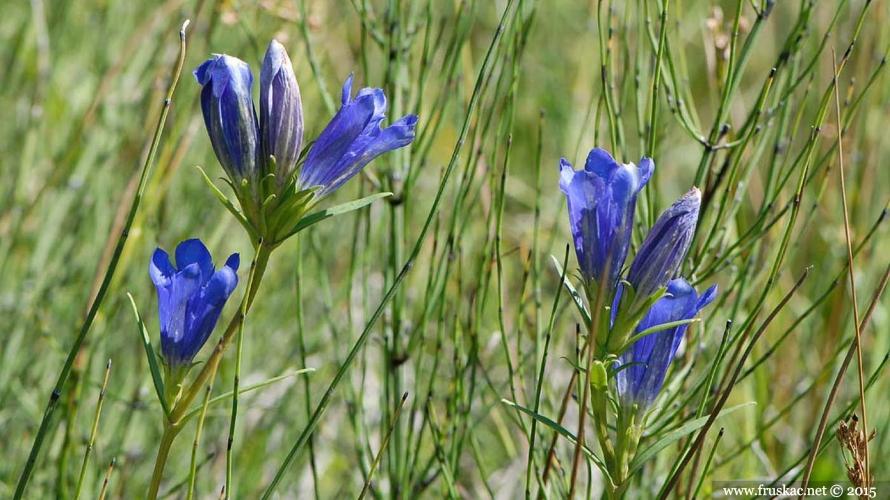 Plants - Livadska lincura – Gentiana pneumonanthe