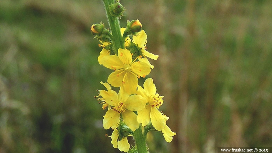 Plants - Petrovac – Agrimonia eupatoria