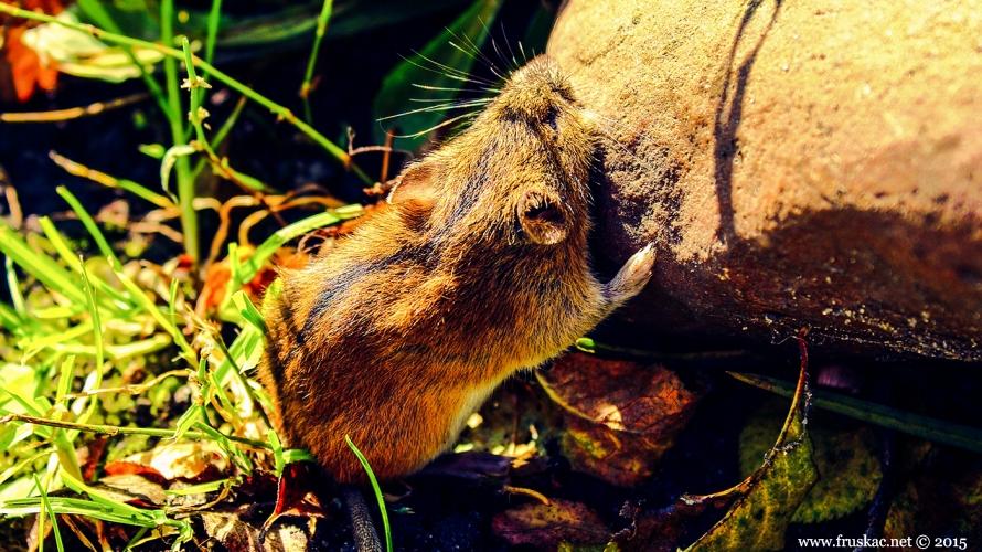 Animals - Prugasti poljski miš - Apodemus agrarius