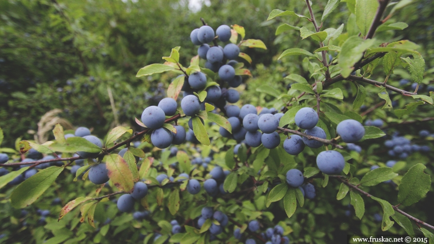 Plants - Trnjina – Prunus spinosa
