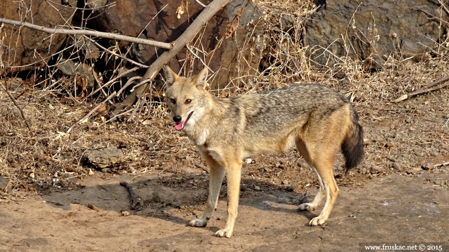 Animals - Zlatni šakal - Canis aureus